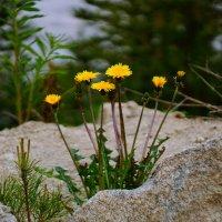 Прорастают цветы сквозь асфальт.... :: Анна Суханова
