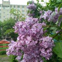 Городская сирень :: Ирина Лесиканич