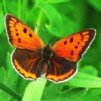 Бабочка червонец :: sm-lydmila Смородинская
