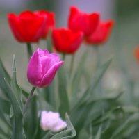 Из жизни тюльпанов ...... :: Анатолий Святой