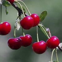 Поспели вишни в саду у ......! :: Анатолий Святой