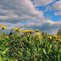 Поле из маленьких желтых солнышек :: Павлова Татьяна Павлова