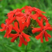 Зорька-лихнис, огонёк, яркий солнечный цветок. :: sm-lydmila Смородинская