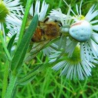 Трагедия под цветком. Паук Misumena vatia - Мизумена косолапая жертва пчела. :: ivan