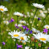 Полевые цветы :: Алёна Блинникова