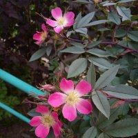 Северные розы :: Регина Пупач