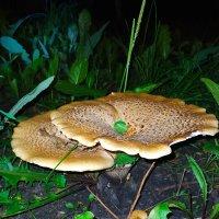 Вот такие грибочки в парке. :: °•●Елена●•° ♀