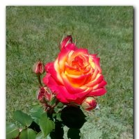 Роза. :: Зоя Чария