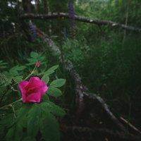 Лесная роза :: Алексей Петропавловский