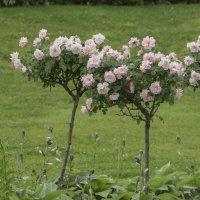 Розы ВДНХ :: marmorozov Морозова