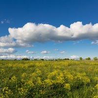 Цветение в поле :: Александр Синдерёв