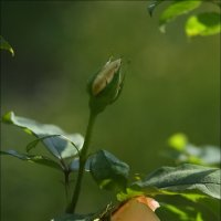 Роза :: Владимир Стаценко
