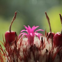 кактус с цветом и семенами :: НАТАЛЬЯ