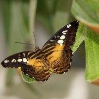 butterfly #2 :: Yuriy Protsyuk