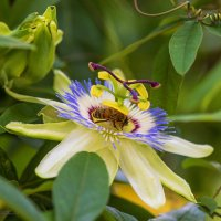 Bee and flower :: Сергей Алексеевич Митянин
