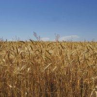 """""""Стеной стоит пшеница золотая..."""" :: Андрей K."""