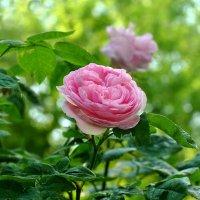 Утренняя красавица :: Любовь Р
