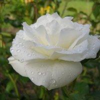 Белая роза после дождя :: Анна Воробьева
