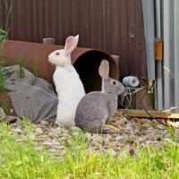 Один серый, другой белый... Дача. У кого-то сбежали кролики. :: Елен@Ёлочка К.Е.Т.
