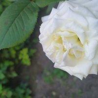 Роза :: Artem Ефимец