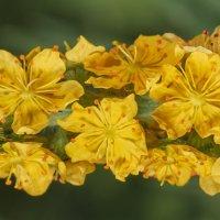Желтоцветики :: Денис Антонов
