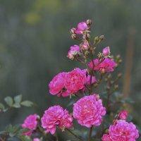 Кустовая мелкоцветковая роза :: Елена