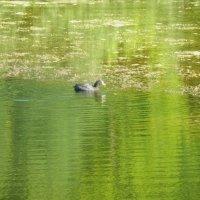 Лысуха в зелёных водах :: Александр Рыжов