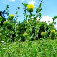 Гринделия растопыренная - Grindelia squarrosa. Общий вид растения. :: ivan