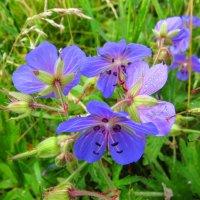 Полевые цветы :: Андрей Снегерёв