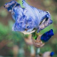 Цветы, как и люди - бывают разными :: ph.yankovska ph.yankovska