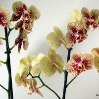 Орхидеи. :: Валерьян Запорожченко