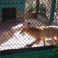 Лисица в зоопарке в Луганске 2020 год :: Наталья (ShadeNataly) Мельник