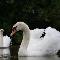 Лебедь белая :: Василий Панкрушов