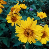 Жёлтые пёстрые :: Света Кондрашова