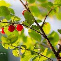 Ягоды войлочной вишни :: Александр Синдерёв