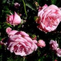 Лето. Розы :: Антонина Гугаева