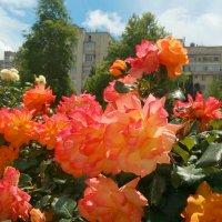 Солнечные розы) :: Эля Юрасова