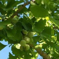 Дерево гинкго :: Татьяна Тюменка