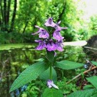 Чистец болотный. Около 100 см. высотой.  Верхушка цветущего растения... :: ivan