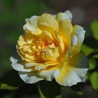 """Роза """"The Pilgrim"""" :: Alm Lana"""
