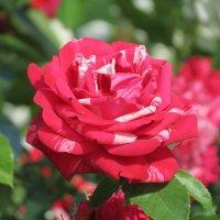 Где наша роза, Друзья мои? :: Людмила