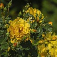 Жёлтая роза - эмблема печали. :: Сергей Фомичев