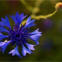 Василёк - планета насекомых. :: aWa