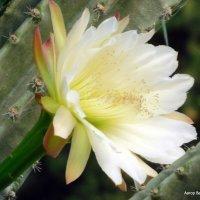 Кактус Цереус, цветок. :: Валерьян Запорожченко