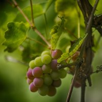 Виноградная лоза :: Александр Мац