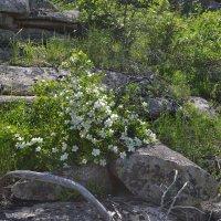 Белые горные розы...Шиповник...Благовест. :: Андрей Хлопонин