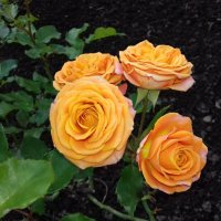 Розы :: Сапсан