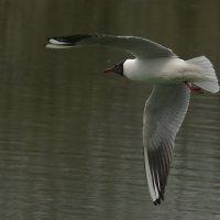 чайка :: Roman M,