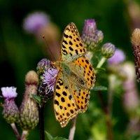 и опять бабочки...44 :: Александр Прокудин