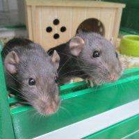 Крыски-малыши. :: Зинаида